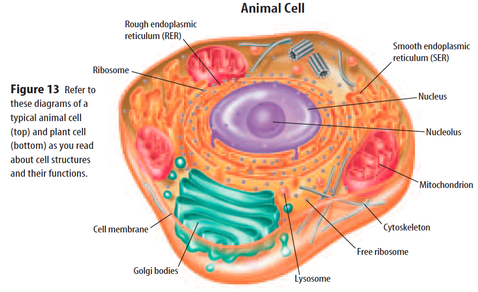 Animal cell diagram of a 6th search for wiring diagrams animal cell 6th grade science at is 30 mrtubbs info rh mrtubbs info animal cell diagram ccuart Gallery